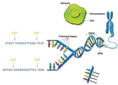 Genetic Diagram Gene Dna by Genetics 171 Kaiserscience