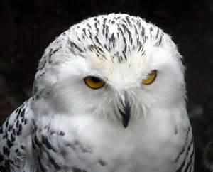 snowy owl  small breeds farm  owl  christine