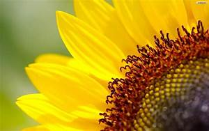 Sunflower Wallpapers - Wallpaper Cave