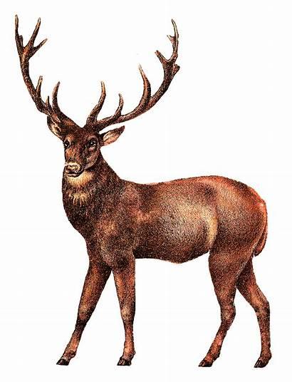 Deer Stag Antique Elk Animal Clip Transparent