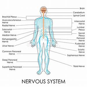 Nervous System Stock Vector  Illustration Of Neuron
