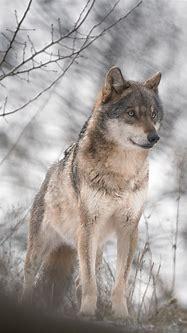 Wild Wolf Phone Wallpaper - Animal iPhone Background