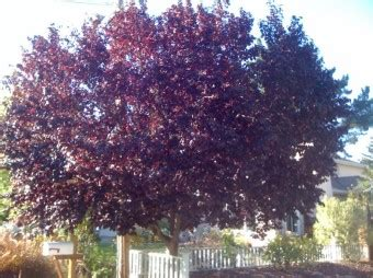 thundercloud purple leaf plum hey we get fall color too harmony in the garden