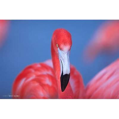 UrbanMescalero PhotographyAmerican flamingo