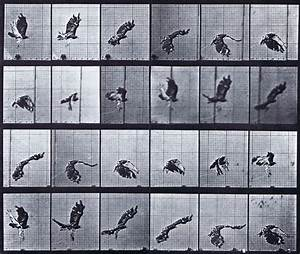 Muybridge Art Refrence - Red Tailed Hawk Flying - Plate 763