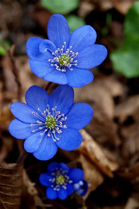 Best 25 Blue Flower Pictures Ideas On Pinterest Blue