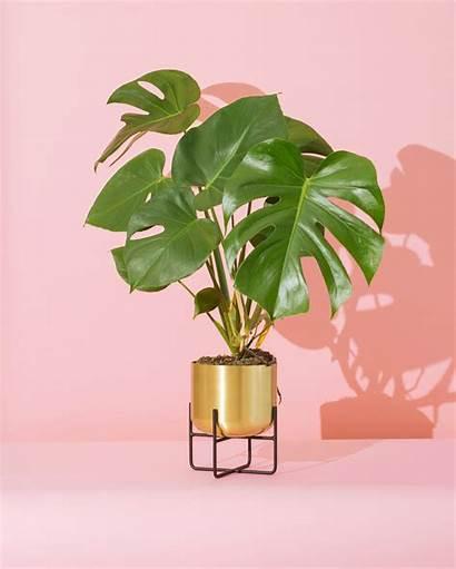 Plant Monstera Propagate Water Plants Living Plante