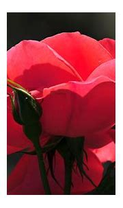 Rose Baclgrounds For Desktop | PixelsTalk.Net