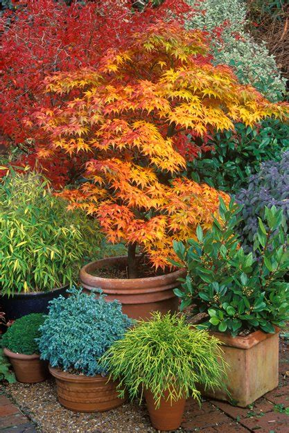 Japanese Maples How To Plant, Care And Prune  Garden Design