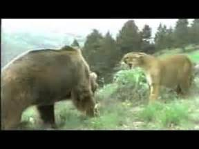 Mountain Lion vs Bear Fight