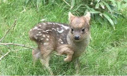 Deer Pudu