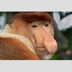 Zoo News Digest New Monkey Species For Apenheul Primate Park