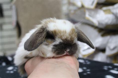 lapin b 233 liers hollandais les petits lapins d amour