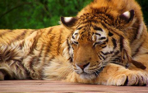 cool tiger pictures