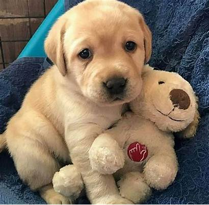 Labradors Puppies Lab Dogs Adorable Too Instagram