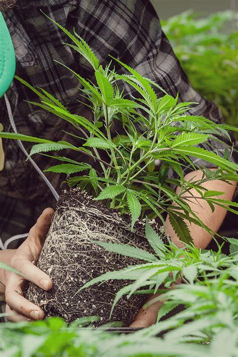 comment planter cannabis exterieur comment et quand transplanter votre cannabis rqs