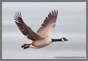 Picture Of Canada Goose Flying Canada Goose Down Outlet Cheap