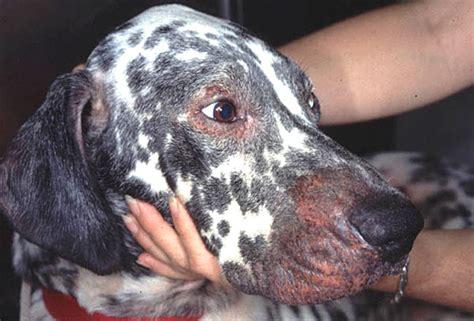 bald spots hair loss  dogs   dog hair loss