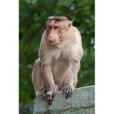 Khỉ đuôi dài - Wikiwand