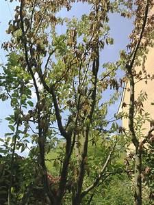 Hortensien Blätter Werden Braun Frost : pflaumenbaum bl tter welken und sterben ab was ist das ~ Lizthompson.info Haus und Dekorationen