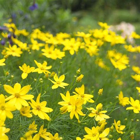 yellow perennial flowers for sun the best perennials for your yard perennials
