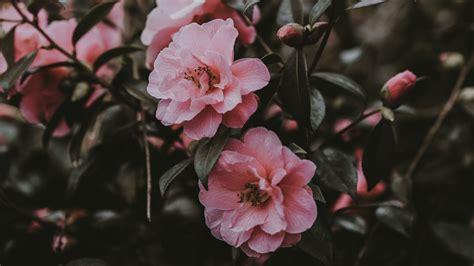 pink flowers aesthetic desktop wallpapers