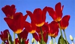 Wann Schneidet Man Erdbeeren Zurück : tulpen pflege wie und wann man die blumen zur ck ~ Lizthompson.info Haus und Dekorationen