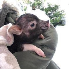 fliegenpilz kostüm baby die 68 besten bilder mini schweine ferkel kleine schweine und animal kingdom