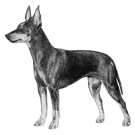 Manchester Terrier Dog Breed Information