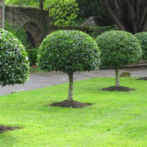 ligustrum lucidum chinese glossy privet seeds