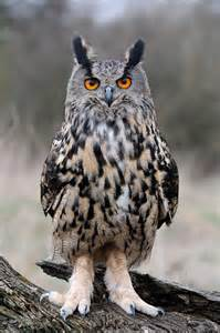 Eagle Owl Birds of Prey