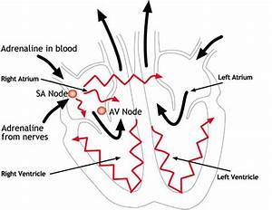 Ib Biology At Chapel School   4  Outline The Control Of The Heartbeat In Terms Of Myogenic