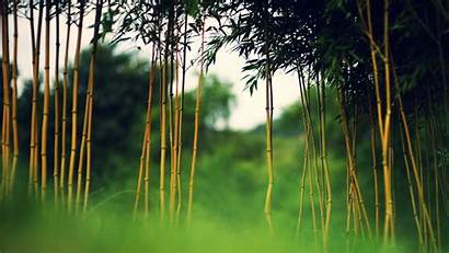 Bamboo Desktop Computer Wallpapers Backgrounds Forest Mobile