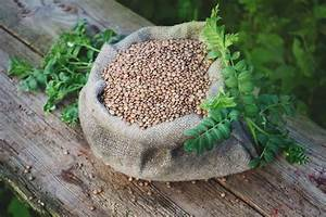 Growing Lentils  Varieties  Planting Guide  Care  Problems