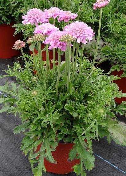 Pink Flower Pincushion Scabiosa Mist Columbaria Plant