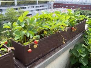 pflanzen balkon erdbeeren pflanzen balkon hauptdesign