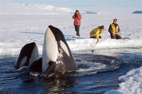Orca Whale Attacks Fishing Boat In Alaska by The Antarctic Sun News About Antarctica Predator And