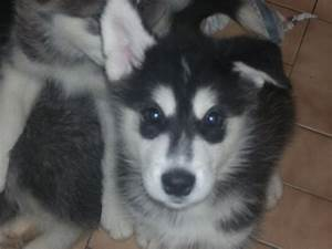 husky/malamute puppies for sale | Lampeter, Ceredigion ...