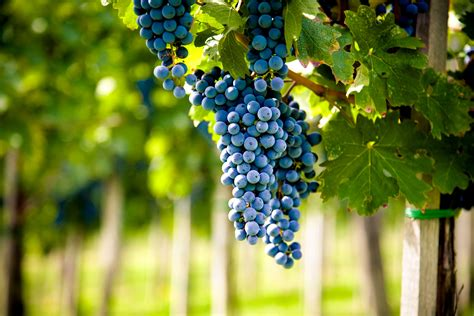 noble grapes  winemaking