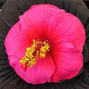 Getrocknete Blüten Kaufen : bl ten kunstblumen hibiskus rot g nstig kaufen ~ Orissabook.com Haus und Dekorationen
