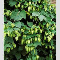 Fastgrowing Vines  How To Pick The Right Vine