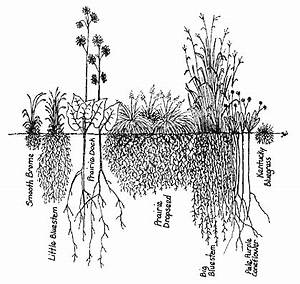 compared to the roots of the non native smooth brome far With wiringpi non root