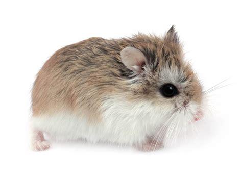 photos hamster hamster 1758 wamiz