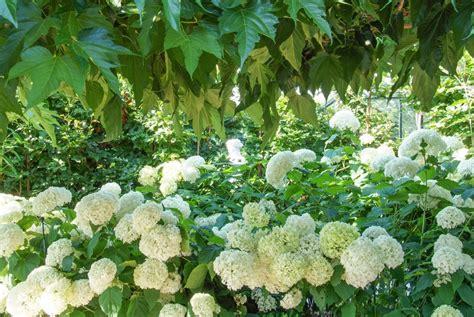 hortensien das passt dazu hortensien hortensien