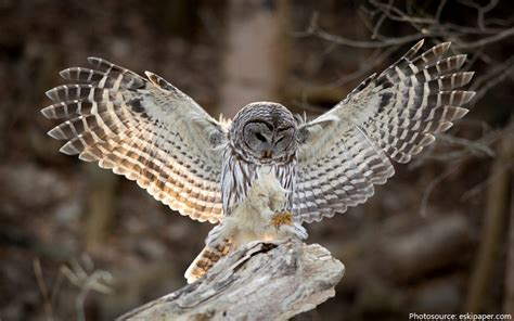 barn owl facts interesting facts about owls just facts