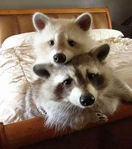 40+ Of The Cutest Raccoon Photos Ever | Bored Panda