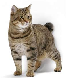 american cat cat breeds american bobtail cat origin and personality