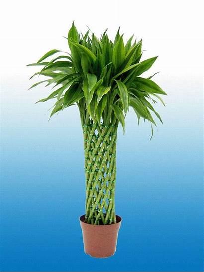 Bamboo Lucky Plant Plants Dracaena Sanderiana Care