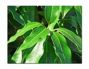 Mango leaf - a photo on Flickriver