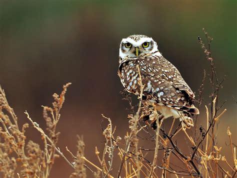 Owl Wallpaper by Owl Owls Wallpaper 31450193 Fanpop